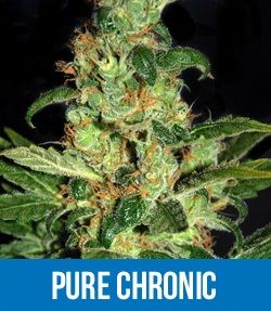Chronic Autoflowering Feminized seeds
