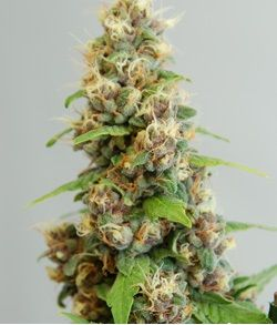 Forbidden Fruit feminized Auto flowering marijuana seeds