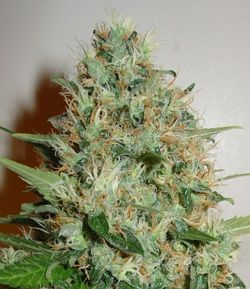 Ganja Dwarf feminized Auto flowering marijuana seeds
